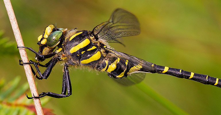 Golden Ringed Dragonfly, Wildmoor Pool, July 2012 / © Matthew Webster