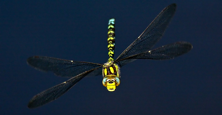 Southern Hawker, Long Mynd, August 2007