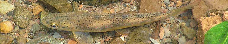 A Brown Trout in the Carding Mill stream